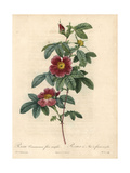 Single May Rose, Rosa Majalis Giclee Print by Pierre-Joseph Redouté