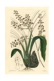 Pale Graphorkis Orchid, Graphorkis Lurida Giclee Print by Sarah Drake