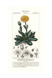 Machairophyllum Albidum, Succulent Native to South Africa Giclee Print by Pierre Turpin