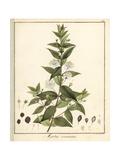 Common or True Myrtle, Myrtus Communis Reproduction procédé giclée par F. Guimpel