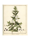 Common or True Myrtle, Myrtus Communis Giclée-Druck von F. Guimpel