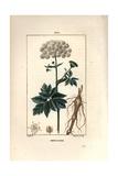 Masterwort, Imperatoria Ostruthium Giclee Print by Pierre Turpin