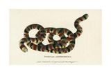 Coral Snake, Micrurus Surinamensis Giclee Print by Maria Sybilla Merian
