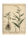 Water Pepper, Persicaria Hydropiper Reproduction procédé giclée par F. Guimpel