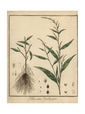 Water Pepper, Persicaria Hydropiper Giclee Print by F. Guimpel