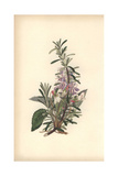 Rosemary, Rosmarinus Officinalis, and Violet, Viola Odorata Giclee Print by William Clark