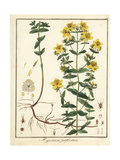 St Johnswort, Hypericum Perforatum Giclee Print by F. Guimpel
