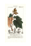 Monkey's or Devil's Hand Tree, Chiranthodendron Pentadactylon Giclee Print by Pierre Turpin