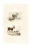 Sheep and Goats Giclee Print by Janet Lange