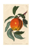 Margil Apple, Malus Domestica Giclee Print by Augusta Withers