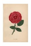 Paul Neron Rose, Scarlet Hybrid Giclee Print by Francois Grobon