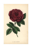 General Jacqueminot Rose, Hybrid Giclee Print by Francois Grobon