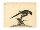 Blue-Bellied Parrot Giclee Print by William Hayes