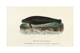 West Indian Manatee, Trichechus Manatus Giclee Print by Thomas Pennant