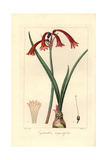 Narrowleaved Cyrtanthus, Cyrtanthus Angustifolius Giclee Print by Pancrace Bessa