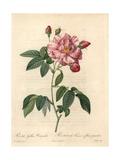 Rosa Mundi, Rosa Gallica Variety Giclee Print by Pierre-Joseph Redouté