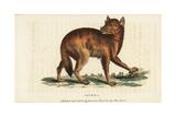 Golden Jackal, Canis Aureus Giclee Print