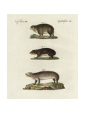 Cape Hyrax, Coney, and Groundhog, Giclee Print