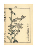 Annual Fleabane, Erigeron Annuus Giclee Print by Bairei Kono