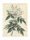 White Musk Rose, Rosa Moschata Giclee Print by Henry Andrews