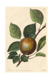 Golden Harvey Apple, Malus Domestica Giclee Print by Augusta Withers