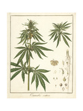 Hemp or Marijuana, Cannabis Sativa Reproduction procédé giclée par F. Guimpel