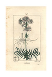 Valerian, Valeriana Officinalis Giclee Print by Pierre Turpin