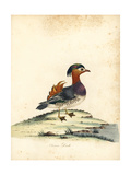 Mandarin Duck, Aix Galericulata Giclee Print by William Hayes