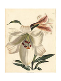 Bamboo Lily, Lilium Japonicum Giclee Print by George Cooke