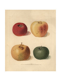 Apple Varieties, Malus Domestica Giclee Print by George Brookshaw