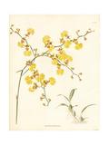 Golden Shower Orchid, Oncidium Flexuosum Giclée-Druck von George Cooke