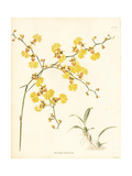 Golden Shower Orchid, Oncidium Flexuosum Giclee Print by George Cooke