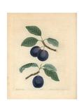 Plum Varieties, Prunus Domestica Giclee Print by George Brookshaw