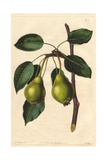 Long-Stalked Blanket Pear, Pyrus Communis Giclee Print by Augusta Withers