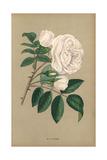 La Biche Rose, Variety of White Noisette Giclee Print by Francois Grobon