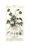 Birdsfoot Violet, Viola Pedata Giclee Print by Pierre Turpin