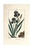 Blue Flower De Luce, Iris Germanica Giclee Print by Pierre Turpin