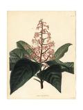 Aunasin, Ardisia Pyramidalis Giclee Print by George Cooke
