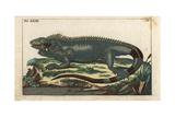 Green Iguana, Iguana Iguana Giclee Print