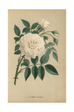 General Lamarque Rose, Variety of Noisette Rose Giclee Print by Francois Grobon