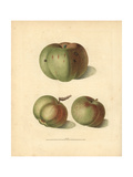 Apple Varieties, Malus Domestica Giclee Print by George Brookshaw