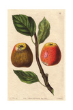 Hubbard's Pearmain Apple, Malus Domestica Giclee Print by Augusta Withers