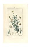 Roman Chamomile, Chamaemelum Nobile Giclee Print by Pierre Turpin