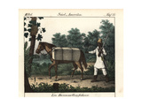 Brazilian Farmer Riding a Horse Loaded with Bales of Cotton to Market Giclee Print