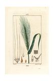 Barley, Hordeum Vulgare Reproduction procédé giclée par Pierre Turpin