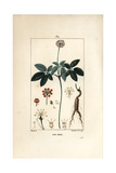 Ginseng, Panax Quinquefolium Reproduction procédé giclée par Pierre Turpin