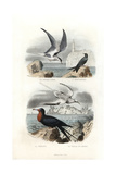 Tern, Black Tern, Great Frigatebird and White-Tailed Tropicbird Reproduction procédé giclée par Edouard Travies