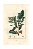 Tea, Camellia Sinensis Giclee Print by Pierre Turpin