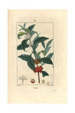 Coffee Plant, Coffea Arabica Giclee Print by Pierre Turpin