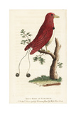 King Bird of Paradise, Cicinnurus Regius Giclee Print by Pierre Sonnerat